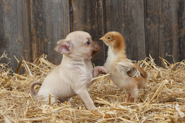 Photograph - Dog And Chicken by John Daniels