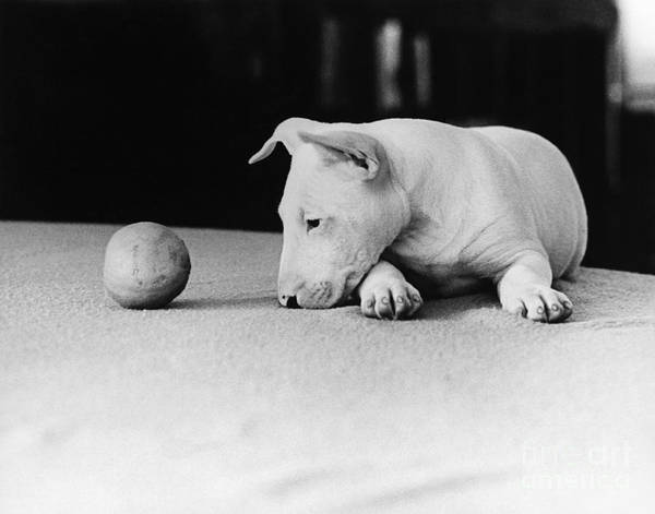 Photograph - Dog And Ball by Guy Gillette