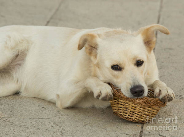 Hund Wall Art - Photograph - Dog Basket  by Rob Hawkins