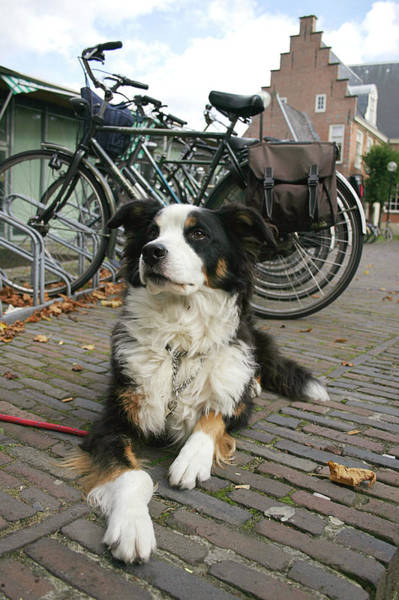 Canis Lupus Photograph - Dog Guarding Bicycles by Chris Martin-bahr/science Photo Library