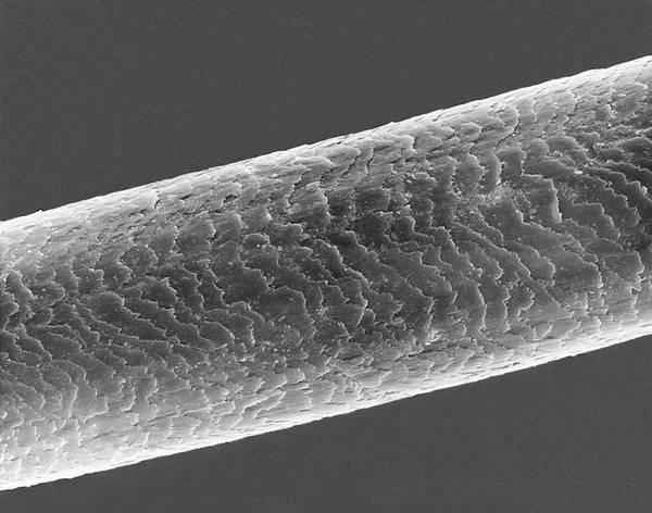German Shepherd Photograph - Dog Hair. German Shepherd by Dennis Kunkel Microscopy/science Photo Library