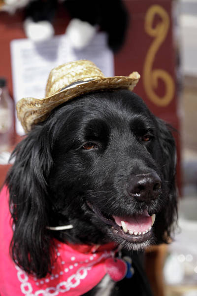 Western Costume Photograph - Dog In A Small Town Parade by Julien Mcroberts