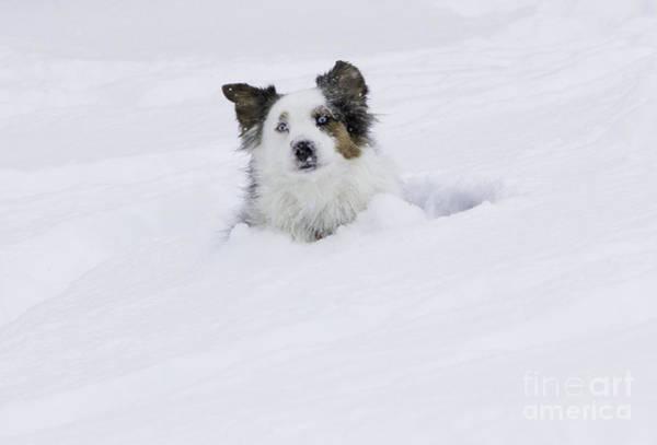 Dog Walker Photograph - Dog In A Snowdrift by Carol Walker