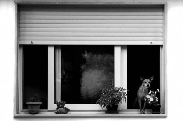 Photograph - Dog In A Window by Fabrizio Troiani