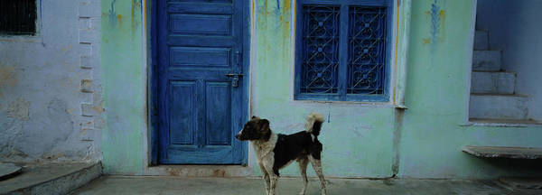 Wall Art - Photograph - Dog In Front Of A House, Rajasthan by Animal Images