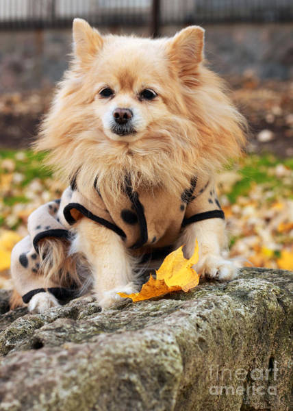 Wall Art - Photograph - Dog In Golden Autumn by Charline Xia