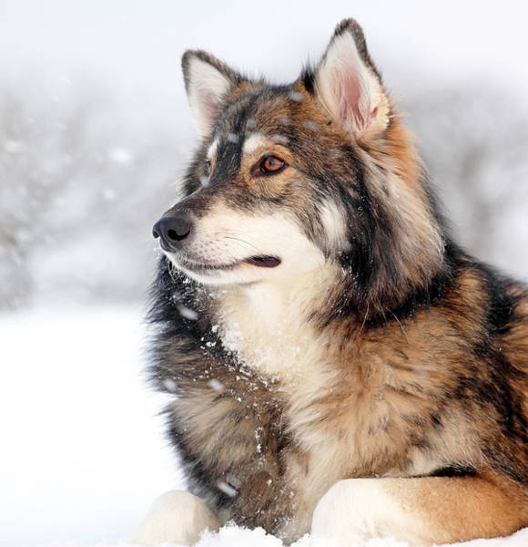Photograph - Dog In The Snow by Grant Glendinning