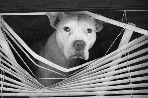 Photograph - Dog In Window Blinds by Dave Beckerman