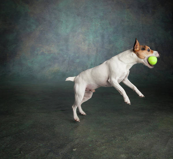 Jack Russell Wall Art - Photograph - Dog, Jack Russell Terrier Dog, Leaping by Animal Images