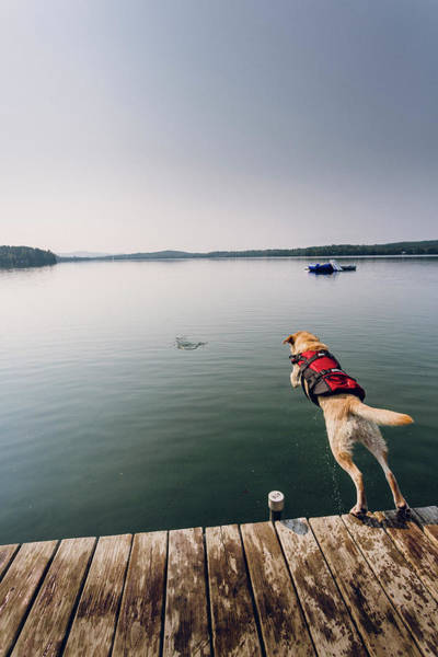 Wall Art - Photograph - Dog Jumping Off A Dock Into A Lake by Corey Hendrickson
