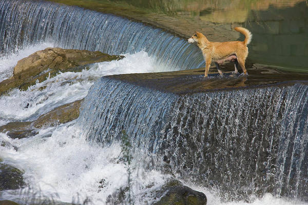 Wall Art - Photograph - Dog On The Waterfall, Pingnan, Fujian by Keren Su