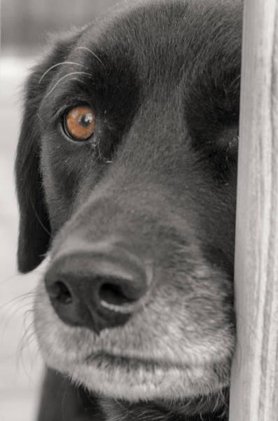 Photograph - Dog Peek A Boo by Jim Shackett