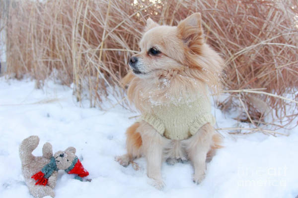 Wall Art - Photograph - Dog Playing In Snow by Charline Xia