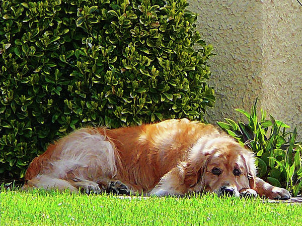 Photograph - Dog Relaxing by Susan Savad
