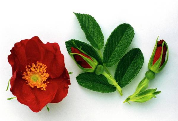Medicinal Photograph - Dog Rose Flower by Th Foto-werbung/science Photo Library