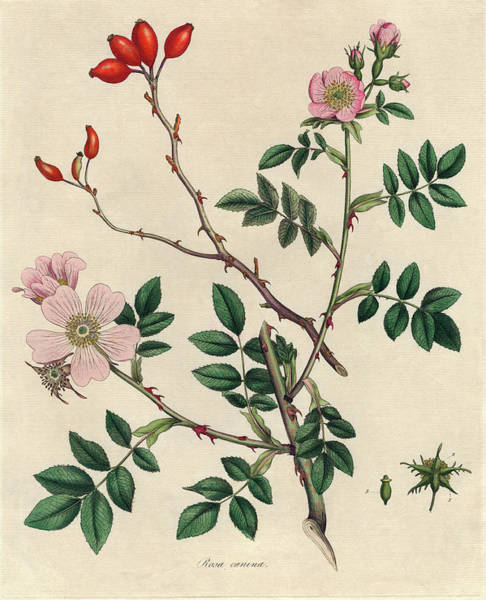 Wall Art - Photograph - Dog Rose by Natural History Museum, London/science Photo Library