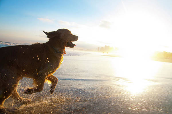 Fun Photograph - Dog Running On The Beach by Giovani Cordioli