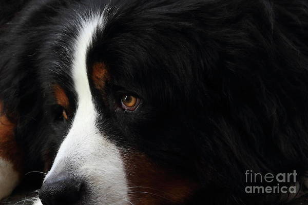 Photograph - Dog by Wingsdomain Art and Photography