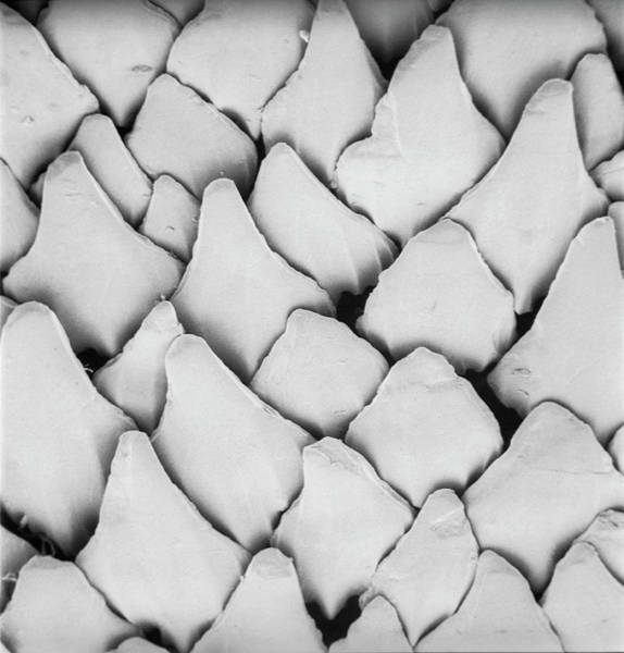 Biological Wall Art - Photograph - Dogfish Scales by Natural History Museum, London