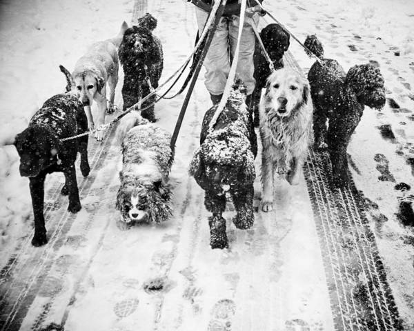 Photograph - Dogs In Snow by Dave Beckerman