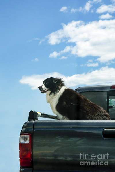Wall Art - Photograph - Dogs Love Trucks by Diane Diederich