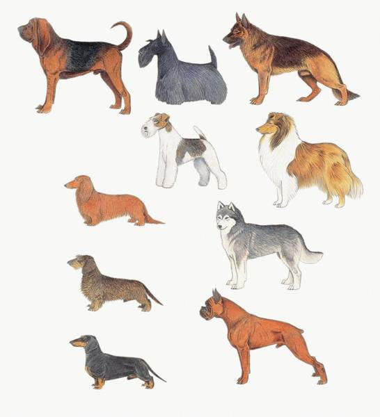 Fox Terrier Wall Art - Photograph - Dogs Of Various Breeds by Deagostini/uig/science Photo Library