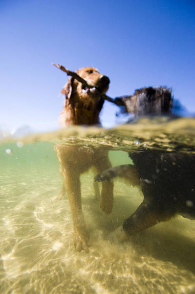 Fetch Photograph - Dogs With Stick In Lake, Idaho by Gabe Rogel