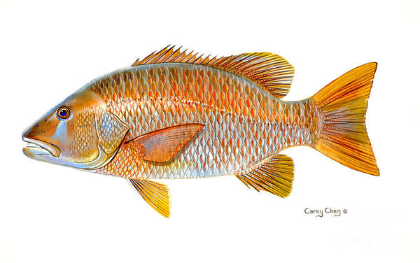 Reel Painting - Dogtooth Snapper by Carey Chen