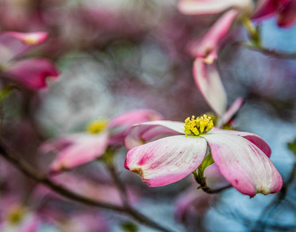 Photograph - Dogwood 5 by Karen Saunders