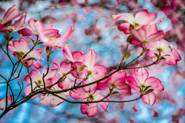 Photograph - Dogwood 6 by Karen Saunders