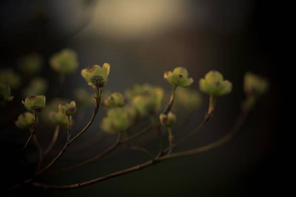 Dogwoods Photograph - Dogwood At Dusk by Shane Holsclaw
