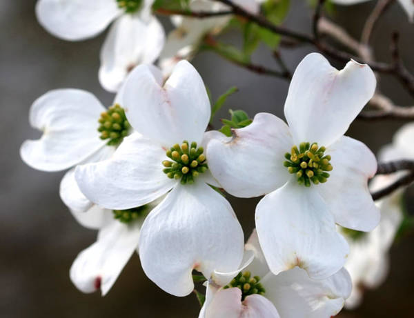 Honor Heights Park Photograph - Dogwood At The Park by Carolyn Fletcher