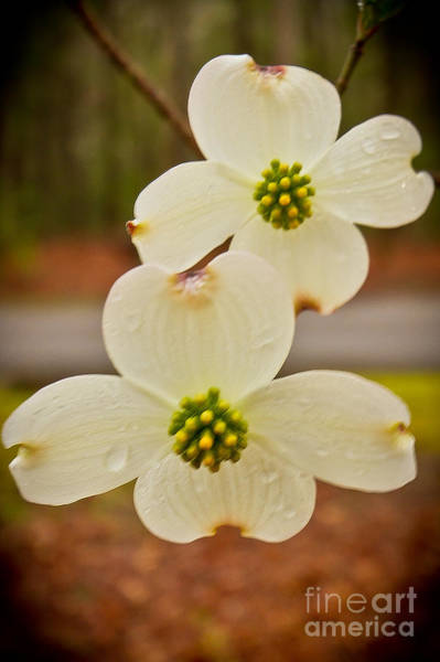 Wall Art - Photograph - Dogwood Bloom by Terry Cotton
