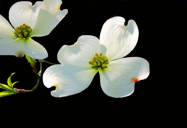 Photograph - Dogwood Blossoms Painted For Jerry by Kristin Elmquist