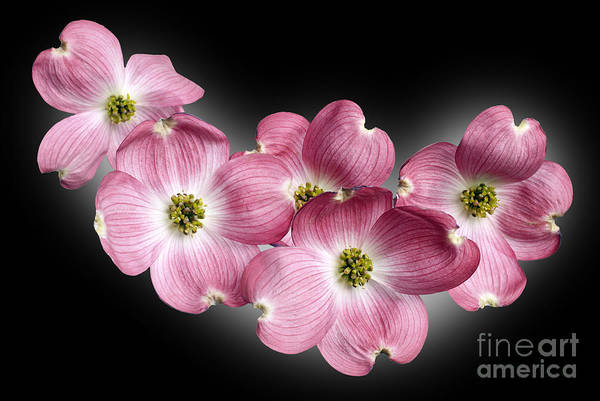 Avant Garde Photograph - Dogwood Blossoms by Tony Cordoza