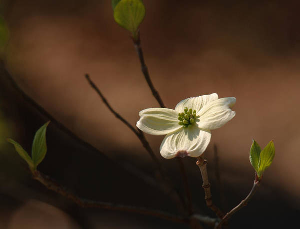 Photograph - Dogwood Bokeh Painting by Lara Ellis