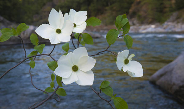 Photograph - Dogwood By The River by Loree Johnson