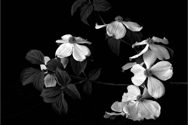 Photograph - Dogwood by Christopher Meade