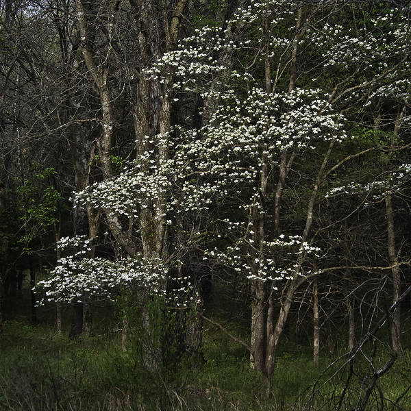 Photograph - Dogwood by Curtis Dale