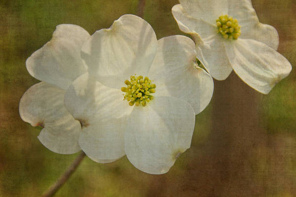 Photograph - Dogwood Dream by Jemmy Archer