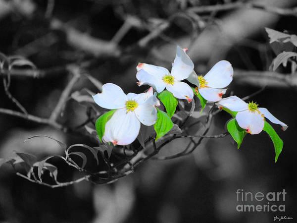 Photograph - Dogwood Flowers by Jai Johnson
