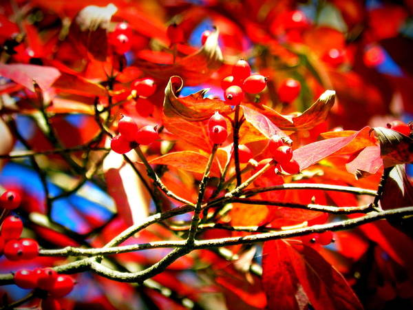 Photograph - Dogwood In Autumn by Lisa Wooten