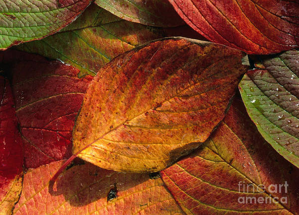 Photograph - Dogwood Leaves In Autumn by K. G. Vock