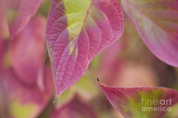 Photograph - Dogwood Leaves by Jim Corwin