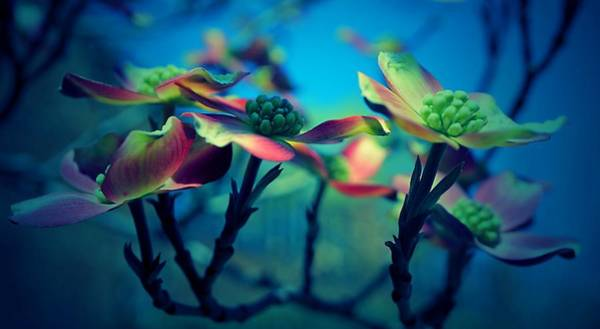 Photograph - Dogwood On Blue by Beth Akerman