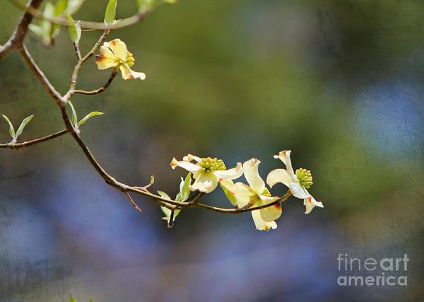 Wall Art - Photograph - Dogwood Tree Blooms by Joan McCool