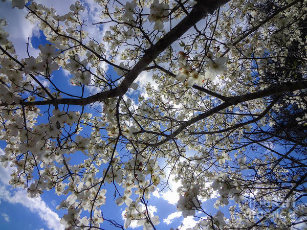 Photograph - Dogwood Tree Blue Sky Spring In Georgia by Ginette Callaway