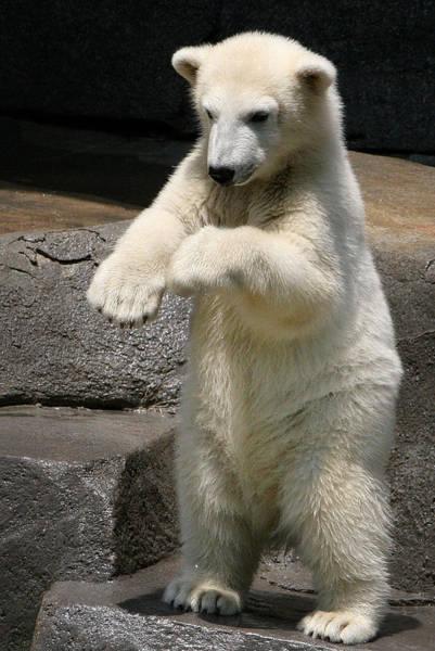 Dancing Bears Photograph - Doin The Hokey Pokey by John Absher