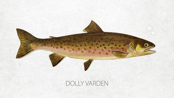Wall Art - Digital Art - Dolly Varden by Aged Pixel