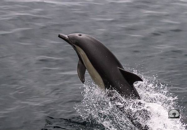 Photograph - Dolphin Greetings by Denise Dube